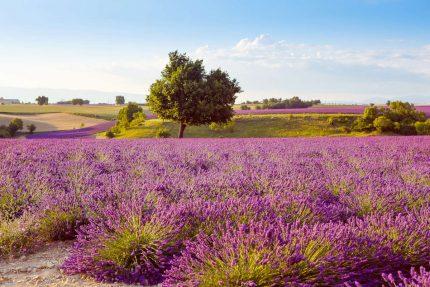 Lavendelvelden-Frankrijk